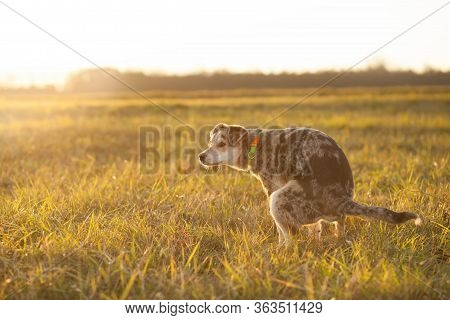 Brown-mixed Dog Pooping At Huge Field During Lovely Sunset, Poop