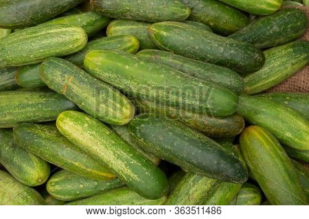 Cucumber, Cucumis Sativus, Is A Widely Cultivated Plant In The Gourd Family, Cucurbitaceae. Fresh Ve