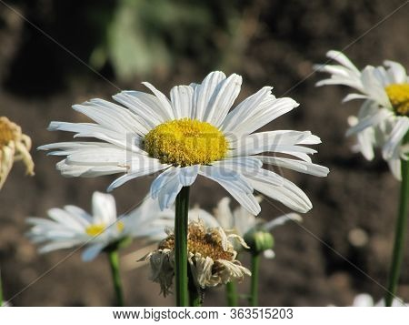 Chamomile Against The Grass. A Beautiful Scene Of Nature With Blooming Chamomile. Chamomile Spring F