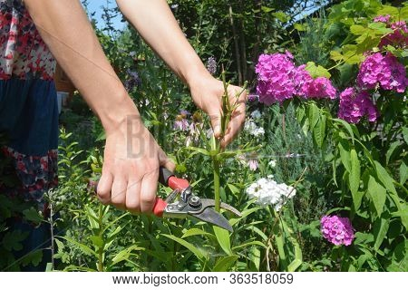 A Gardener Is Deadheading Lily Plants Cutting Off The Spent Flowers With Bypass Shears On A Beautifu