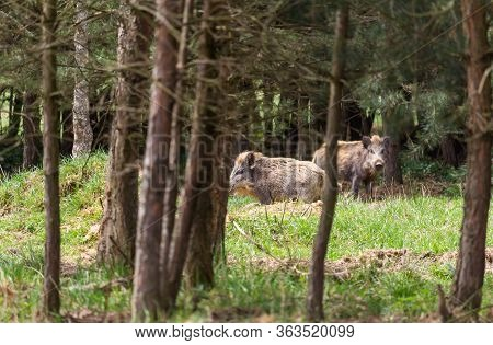 Two Wild Pig, Swine Stnding On Forest