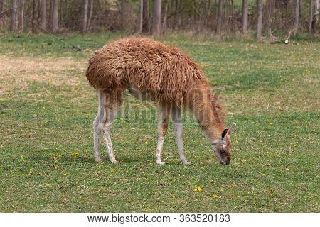 Brown Llama Guanicoe Eating Grass On Meadow Pasture