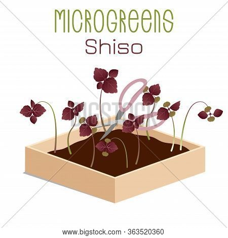 Microgreens Shiso, Perilla. Sprouts In A Bowl. Sprouting Seeds Of A Plant. Vitamin Supplement, Vegan