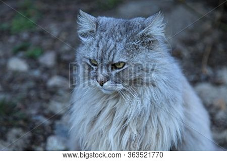 Lion Cat. Fluffy Grey Cat With The Ash Color Is Seriously Looking Into The Distance. Cat Looks Like