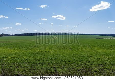 The Big Green Field Of Winter Crop In Springtime. Natural Wealth Of The Land. Ukrainian Agriculture,