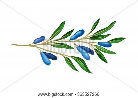 Honeysuckle Branch With Blue Oblong Berries And Green Fibrous Leaves Vector Illustration
