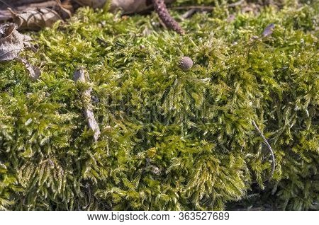 Beautiful Green Moss In The Forest, Moss Closeup, Macro. Lichen Grows On The Old Dry Tree, Backgroun