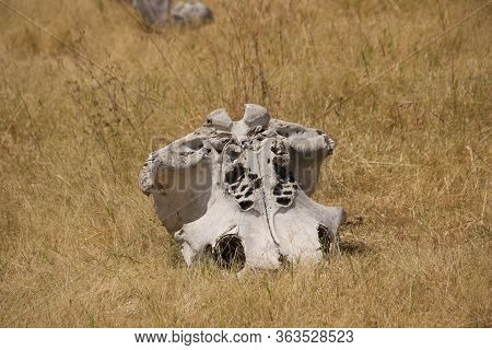 Animal's Skull In A Steppe Somewhere In Africa