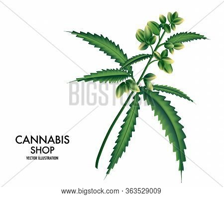 Blooming Cannabis, Marijuana Plant With Early White Flowers, Cannabis Hamp Leaves, Marihuana Plant L