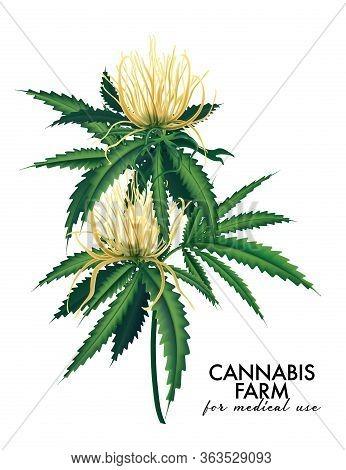Cannabis Bloom And Leaves Plant, Modern Vector Marijuana Tree , Cannabis Farm Illustration. Medical