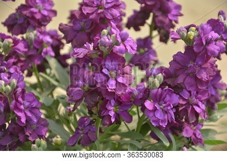 Close Up Of Purple Color Stock Flowers, Scientifically Known As Matthiola Incana, Common Name