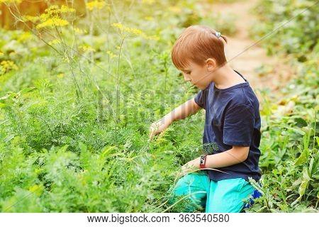 Little Helper Working In Vegetable Bed. Family Organic Bio Farm. Kid Gardening And Farming.