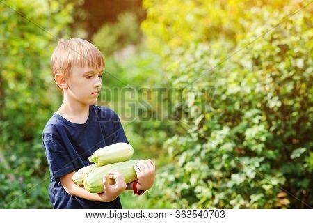Kid With Bio Vegetables On The Farm. Boy Gathering Zucchini Harvest. Little Helper. Organic Bio Farm