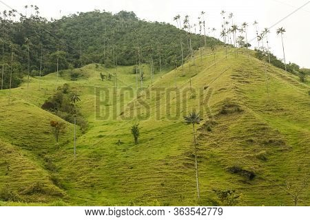 Cocora Valley, Which Is Nestled Between The Mountains Of The Cordillera Central In Colombia.