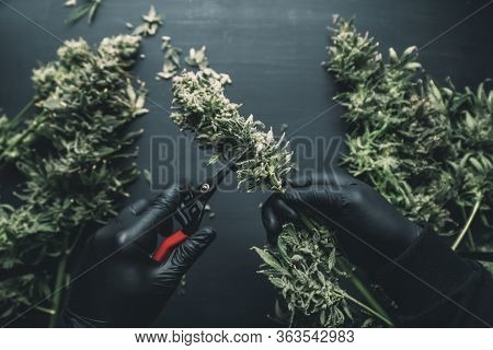 Mans Hands Trimming Marijuana Bud. Growers Trim Cannabis Buds. The Sugar Leaves On Buds.