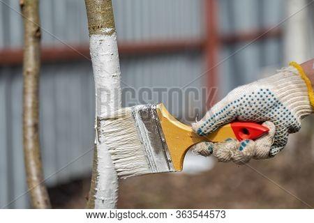 Spring Work In The Garden. Whitewashing Of Trees In Spring. The Young Tree Is Whitewashed. The Farme