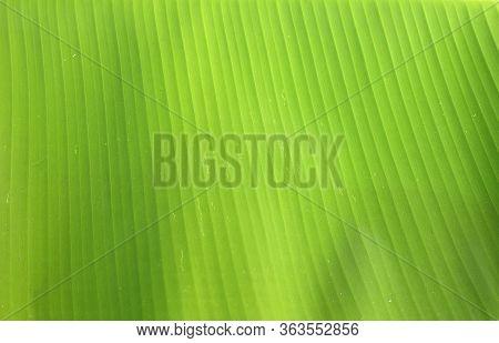 Green Banana Leaf Texture Background
