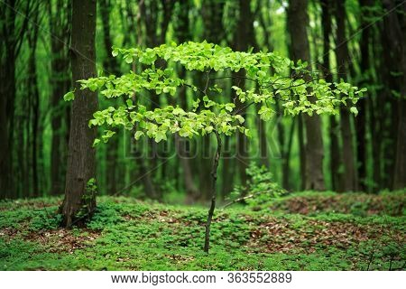 Young Green Deciduous Tree Blossomed In The Forest, The Freshness Of The Awakening Of Wildlife Natur