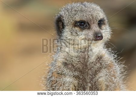 Meerkat Face In Close-up. Animal Mind. Thoughtful Creature Thinking In Close Up With Copy Space.