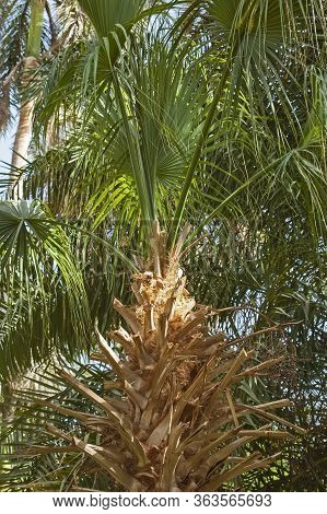 Closeup Of Tropical Palm Tree Trunk And Fronds In Botanical Gardens