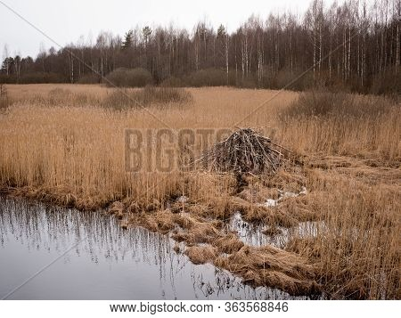 Spring Landscape With Beaver Lodge Among Dry Grass Stems Amid Trees