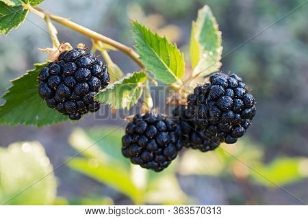 Berry Sprig With Shine Black Berries With  Dew Drops On Multicolored Floral Background Closeup