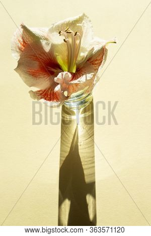 Contemporary Composition Pastel Macarons And Flower Amaryllis On Light Yelow Backgraund With Dark Sh
