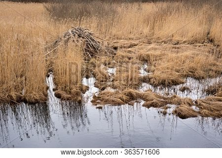 Spring Landscape With Beaver Lodge Among Dry Grass Stems  On Pond Shore Close-up