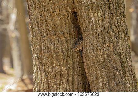 The Eastern Chipmunk (tamias Striatus) After Hibernation On Spring. Eastern Chipmunk Is Eastern Nort