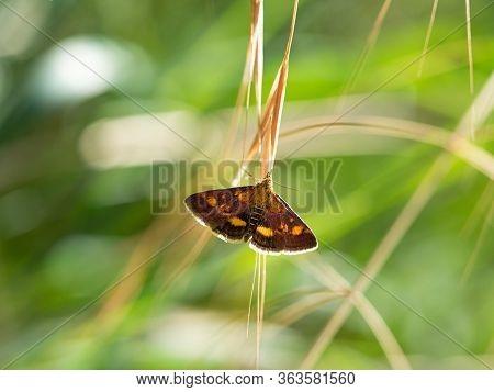 Pyrausta Purpuralis Grass Moth, Colorufl Insect Sitting On Blade Of Grass