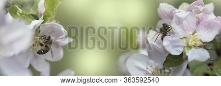 Bee On A White Flower On A Tree.bee Picking Pollen From Apple Flower.bee On Apple Blossom