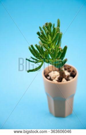 Succulent Plant Sedum Family Crassulaceae. A Flower In A Glass With Pebbles. Unpretentious Home Livi