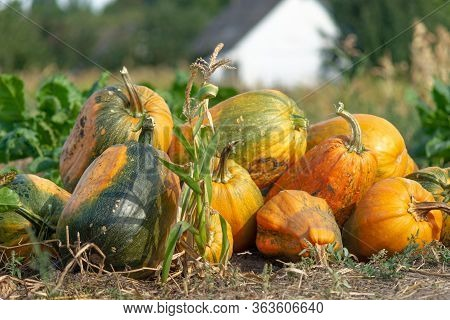 Green And Orange Pumpkins Stack On The Garden Field In Village Far From City. Eco Farming.