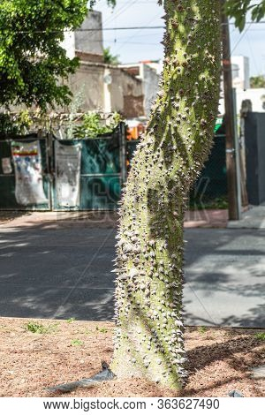 Green Trunk With Large Brown Thorns Of Ceiba Pentandra Tree On A Median Strip Or Central Reservation