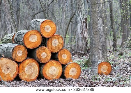 Firewood In The Woodpile On Spring Forest Background. Logging And Cut Of Wood