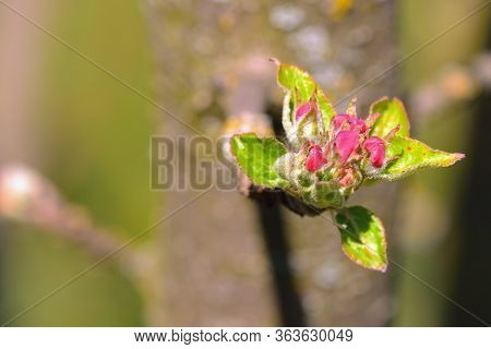 Blossom Of A Young Apple Tree In The Spring Garden.