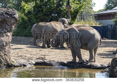 Elephant In The Zoo Of Dublin. Ireland.  Elephant Drink A Water. Herd Of Elephants With A Young Calf