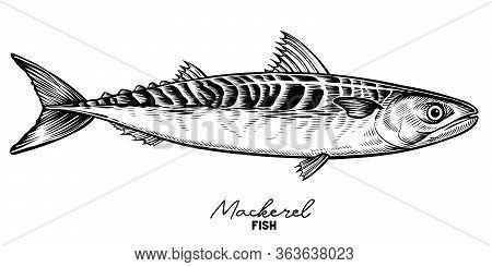 Mackerel Vector Vintage Sketch. Hand Drawn Fish Illustration
