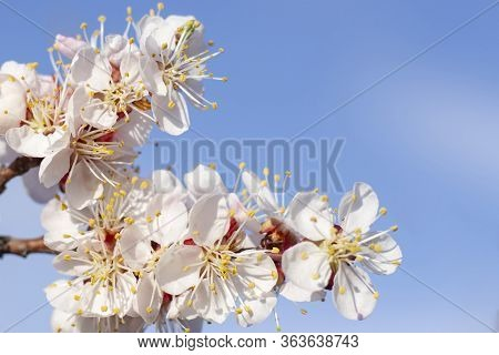 Spring Flowers Bloom On Fruit Trees Apricot Tree Against A Blue Sky