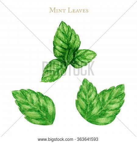Fresh Mint Leaves Isolated On White Background. Watercolor Hand Painted Illustration. Food Green Lea