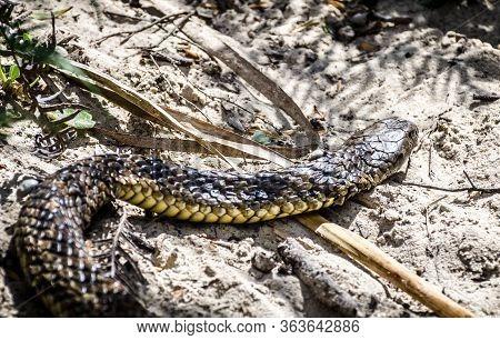 Close Up Tiger Snake Notechis Scutatus Narawntapau National Park Tasmania