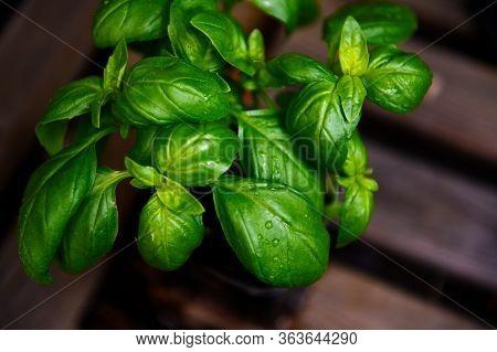 Fresh Basil On A Dark Background. Green Basil On A Dark Background. Food Background. A Lot Of Basil.