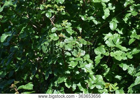 Pacific/western Poison Oak Leaves For Plant Identification High Quality