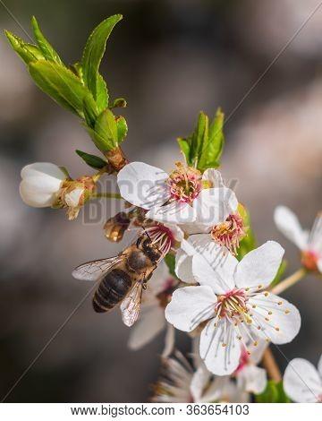 European Honey Bee (apis Mellifera) Collecting Pollen From Blooming Flowers Of Hawthorn (crataegus)