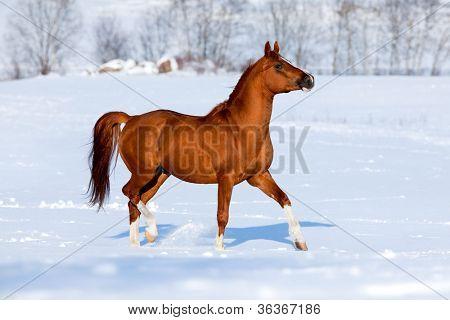 Arabian chestnut horse trotting in winter poster