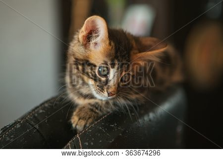 Little Charcoal Longhair Bengal Kitty Laying At Home