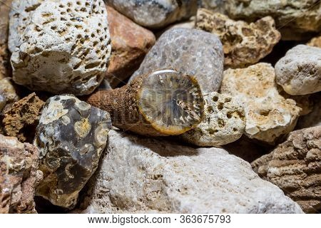 A Collection Of Fossilized Fossil Sponges And Corals. Carboniferous Period. Kaluzhskiy Region, Russi