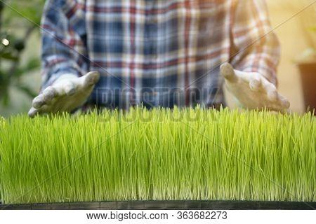 Fresh Wheatgrass In Tray With Farmer, Organic Farm