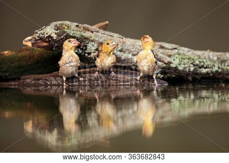 The Hawfinch (coccothraustes Coccothraustes) Sitting At A Drinker. Three Color Passerine Drinking Fr