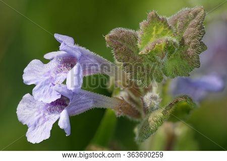 Common Bugle - Ajuga Reptans  Closeup Of Two Flowers